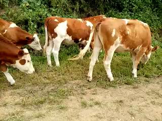 东北黄牛永晨牧业分享的短拍